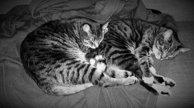 To black and white striped cats cuddling on the couch