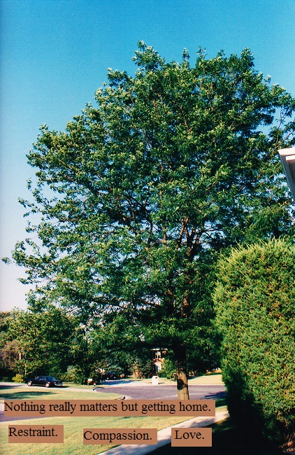 large tree in full bloom in a suburban front lawn