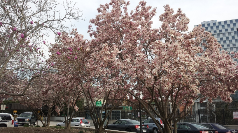 Cherry blossoms in Baltimore