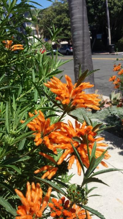 Fuzzy orange flowers in San Diego