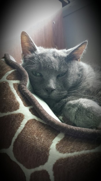 Grey cat snuggled into his cat bed